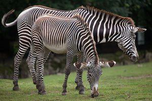 img zebra imperiale